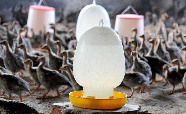 """Nuôi thứ gà bay như chim, đã nhát chết lại còn hay """"lắm mồm"""" kêu ỏm tỏi - Ảnh 5."""