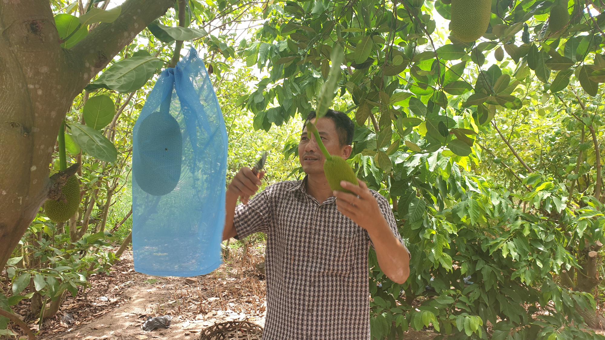 Thái Bình: Bắt mít ra quả quanh năm, lão nông đút túi gần nửa tỷ - Ảnh 6.