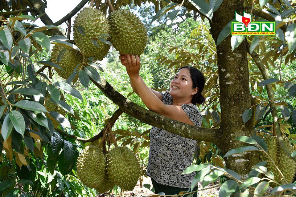"""Đắk Nông: Miệt vườn tiền tỷ """"gói"""" trong trang trại 12ha, cây nào cũng ra trái quá trời"""