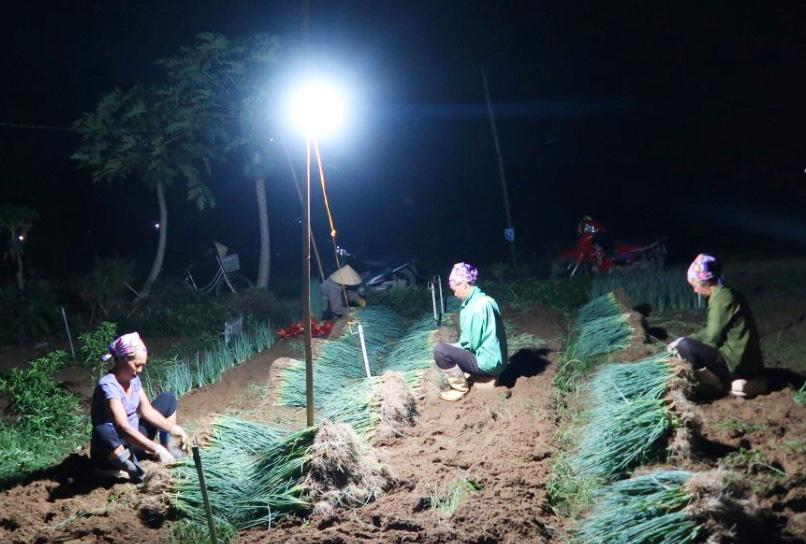 """Nghệ An: Nắng nóng đỉnh điểm,  nông dân """"chong đèn"""" nhổ hành xuyên đêm - Ảnh 3."""