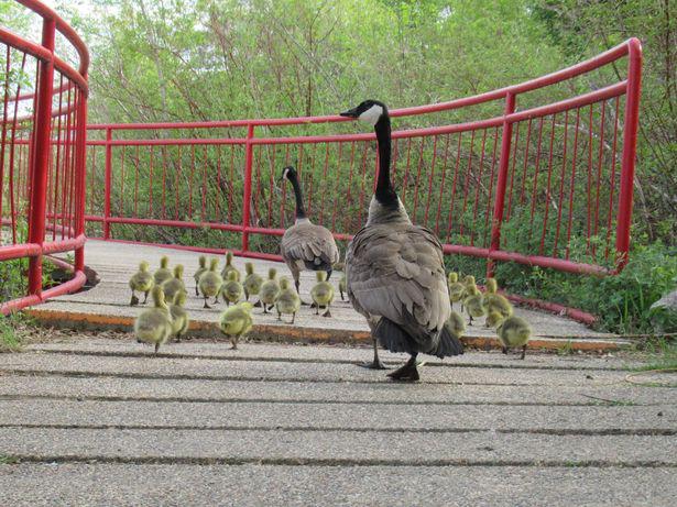 """""""Mẹ"""" ngỗng Canada nổi tiếng đông con nhất thế giới khiến hàng triệu triệu cư dân mạng ráo riết săn lùng. - Ảnh 2."""