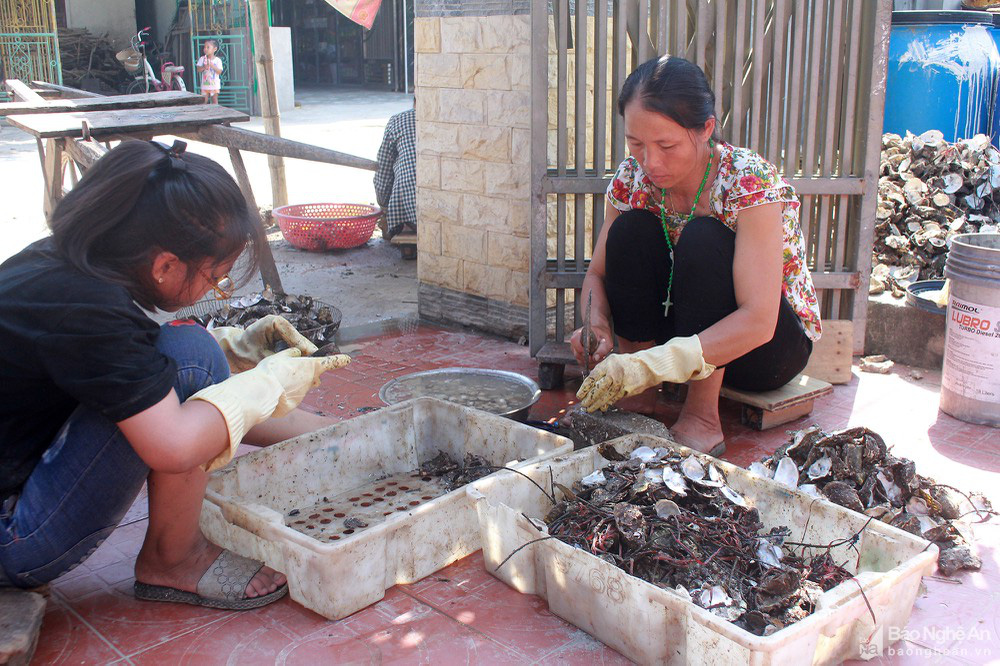Nghệ An: Hàu đặc sản mất mùa, người dân như ngồi trên đống lửa - Ảnh 1.