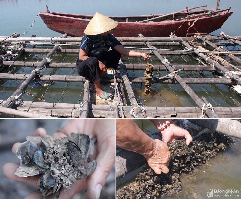 Nghệ An: Hàu đặc sản mất mùa, người dân như ngồi trên đống lửa - Ảnh 3.