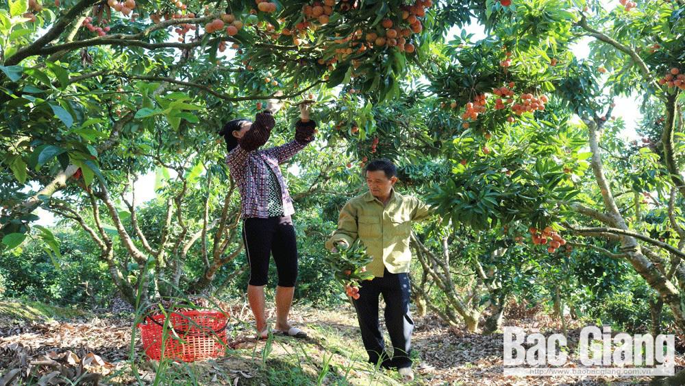 Bội thu vải thiều, Bắc Giang thu khoảng 6.900 tỷ - Ảnh 1.
