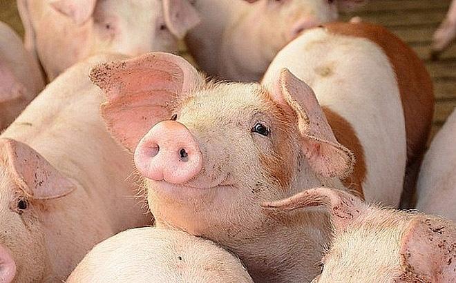 Giá heo hơi ngày 18/7: Dịch tả hoành hành, lợn giống tăng cao, người dân phải tính sao? - Ảnh 1.