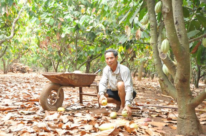 """Cho tiêu, điều """"ở chung"""" với ca cao, nông dân Bình Phước sống khỏe - Ảnh 2."""