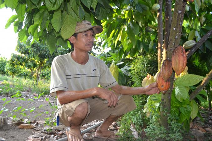 """Cho tiêu, điều """"ở chung"""" với ca cao, nông dân Bình Phước sống khỏe - Ảnh 4."""