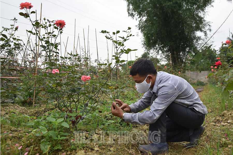 Hải Phòng: Một nông dân thu 1 tỷ đồng mỗi năm nhờ trồng hoa hồng cổ - Ảnh 1.