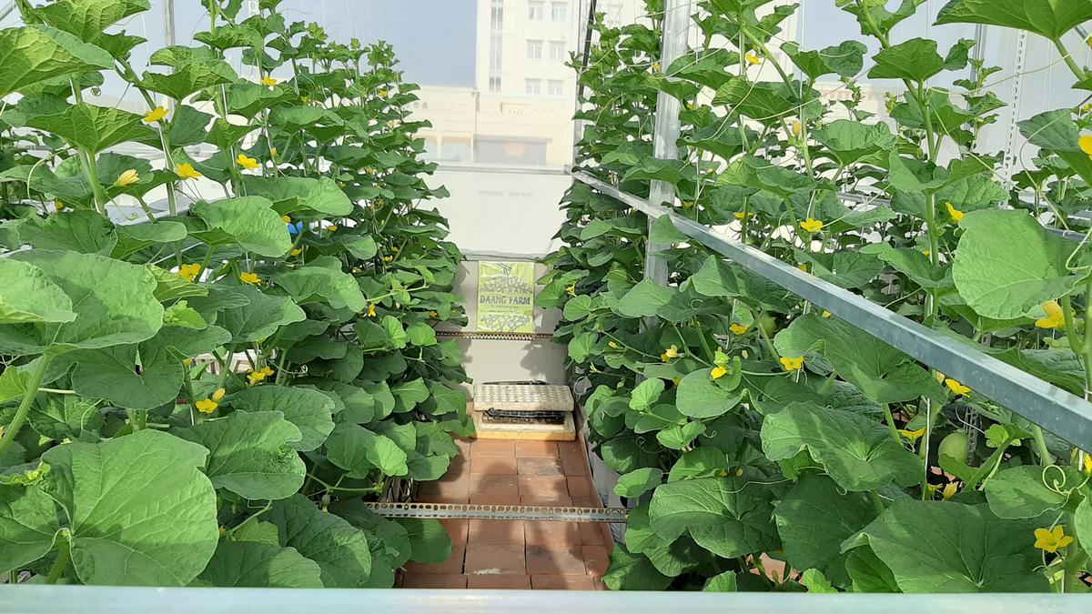 Phú Yên: Vườn dưa trăm trái trên sân thượng của anh kỹ sư viễn thông - Ảnh 6.