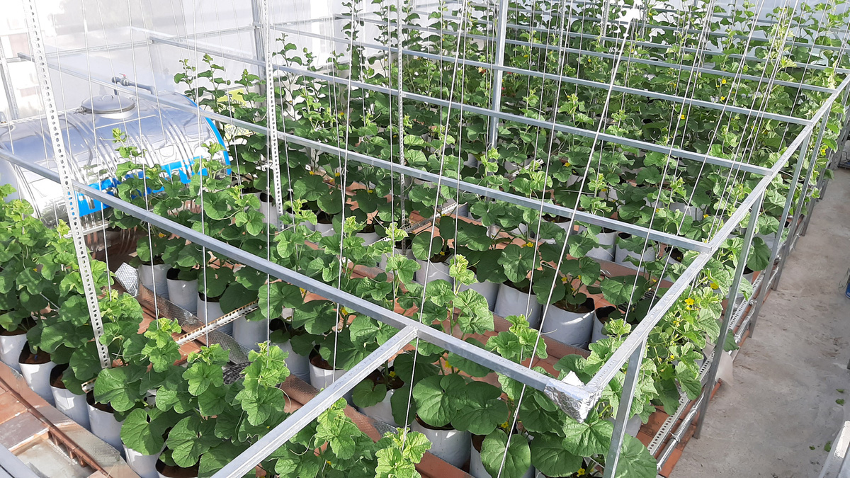 Phú Yên: Vườn dưa trăm trái trên sân thượng của anh kỹ sư viễn thông - Ảnh 4.