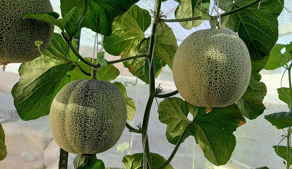 Phú Yên: Vườn dưa trăm trái trên sân thượng của anh kỹ sư viễn thông - Ảnh 9.