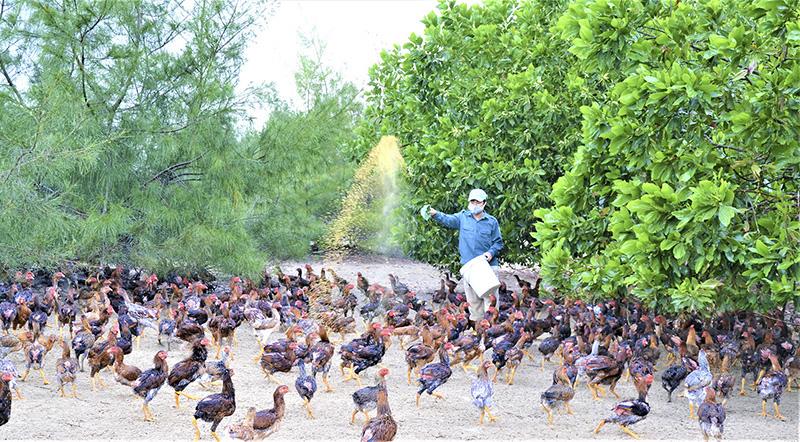 Quảng Trị: Thả nuôi loài gà lai đá trên cát, dân ở đây rủng rình tiền tiêu - Ảnh 1.