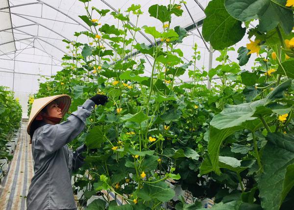 100% số xã, phường ở Lào Cai có hộ sản xuất giỏi - Ảnh 1.