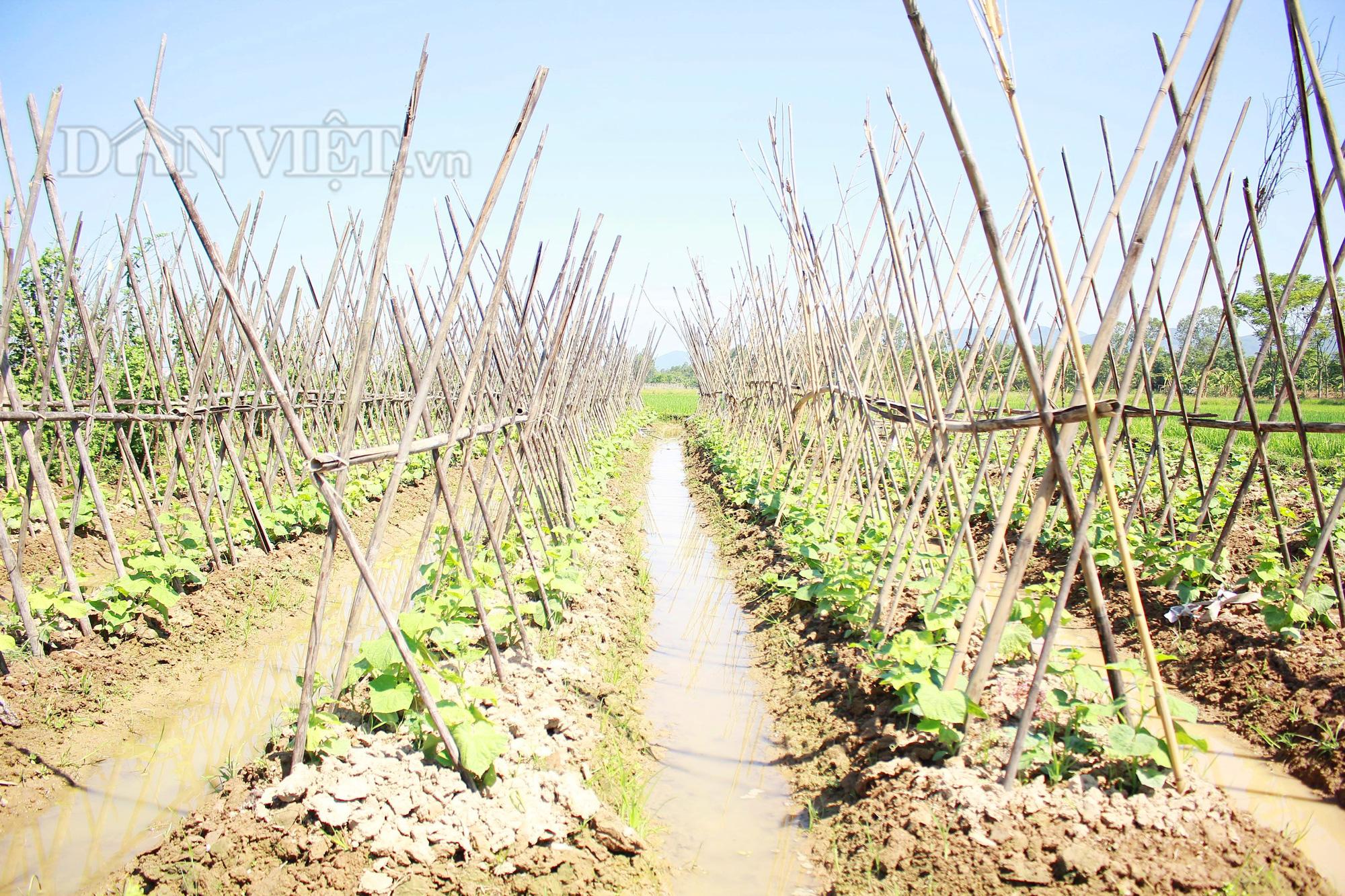 Nghệ An: Biến ruộng lúa kém hiệu quả thành vườn rau, nông dân thu trăm triệu/năm - Ảnh 2.