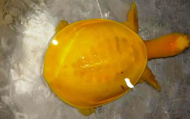 Đi làm đồng, vô tình phát hiện con rùa vàng óng ánh cực quý hiếm - Ảnh 3.