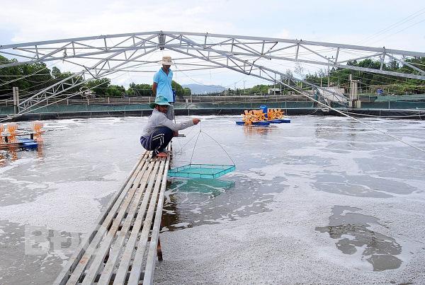 Bình Định: Nông nghiệp công nghệ cao-làm ao nổi trên canh nuôi tôm, thu 4-5 tỷ/vụ - Ảnh 3.