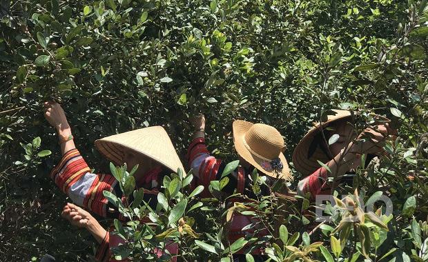 Bình Định: Rừng sim dại đầy trái chín rộng hàng trăm ha hút du khách tới khám phá - Ảnh 1.