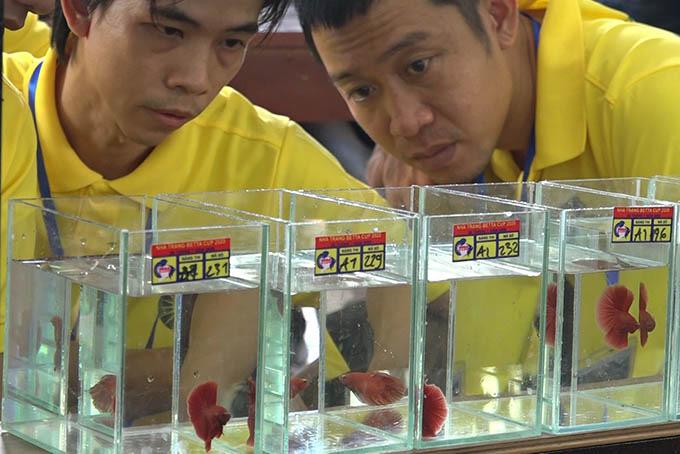 Khánh Hòa: Một người chơi cá ở Đà Nẵng đạt giải Nhất hội thi cá Betta toàn quốc năm 2020 - Ảnh 4.