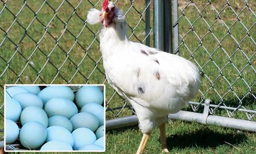 Bí ẩn về loài gà lạ dáng đẹp, không đuôi, lại đẻ sòn sòn ra trứng màu tới 240 quả/năm - Ảnh 6.