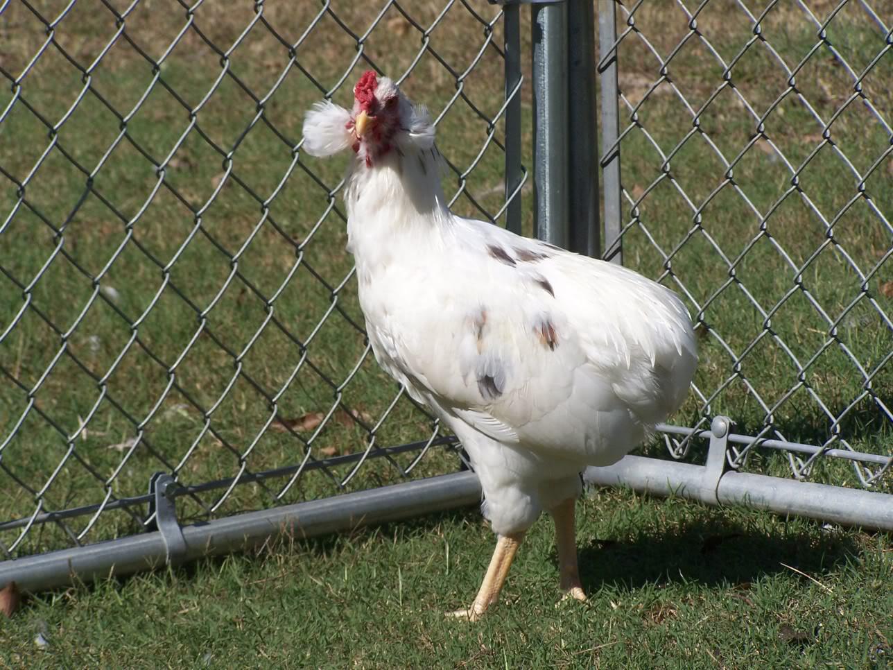 Bí ẩn về loài gà lạ dáng đẹp, không đuôi, lại đẻ sòn sòn ra trứng màu tới 240 quả/năm - Ảnh 4.