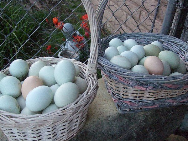 Bí ẩn về loài gà lạ dáng đẹp, không đuôi, lại đẻ sòn sòn ra trứng màu tới 240 quả/năm - Ảnh 5.