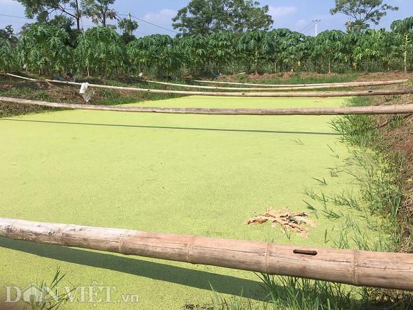 Phú Thọ: Bỏ lúa nuôi con sống dưới bèo cho thu nhập gấp 10 lần - Ảnh 2.