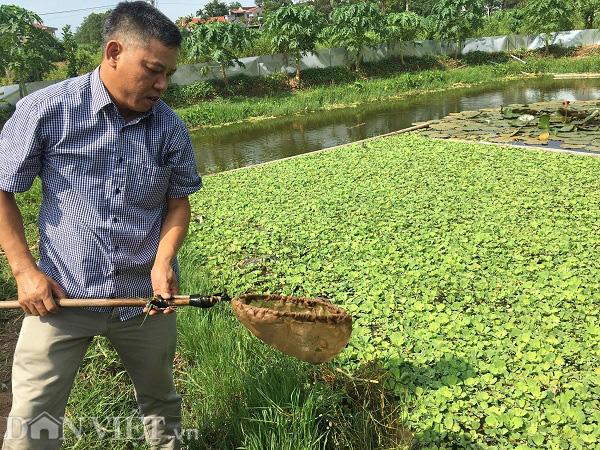 Phú Thọ: Bỏ lúa nuôi con sống dưới bèo cho thu nhập gấp 10 lần - Ảnh 1.
