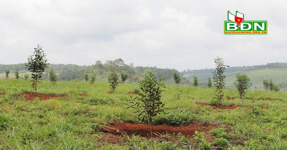 """Đắk Nông: Cảnh báo """"nóng"""" về loại cây trồng tỷ đô, dân mua giống lung tung, tù mù - Ảnh 2."""