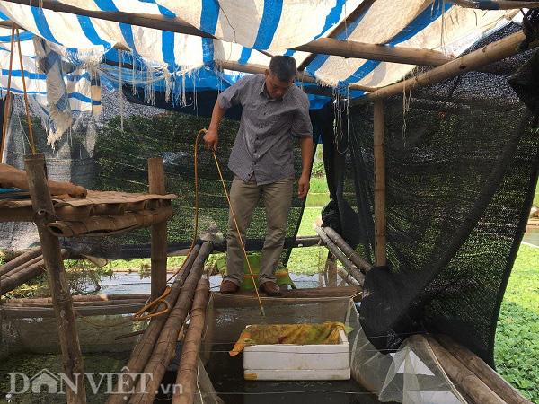 Phú Thọ: Bỏ lúa nuôi con sống dưới bèo cho thu nhập gấp 10 lần - Ảnh 4.