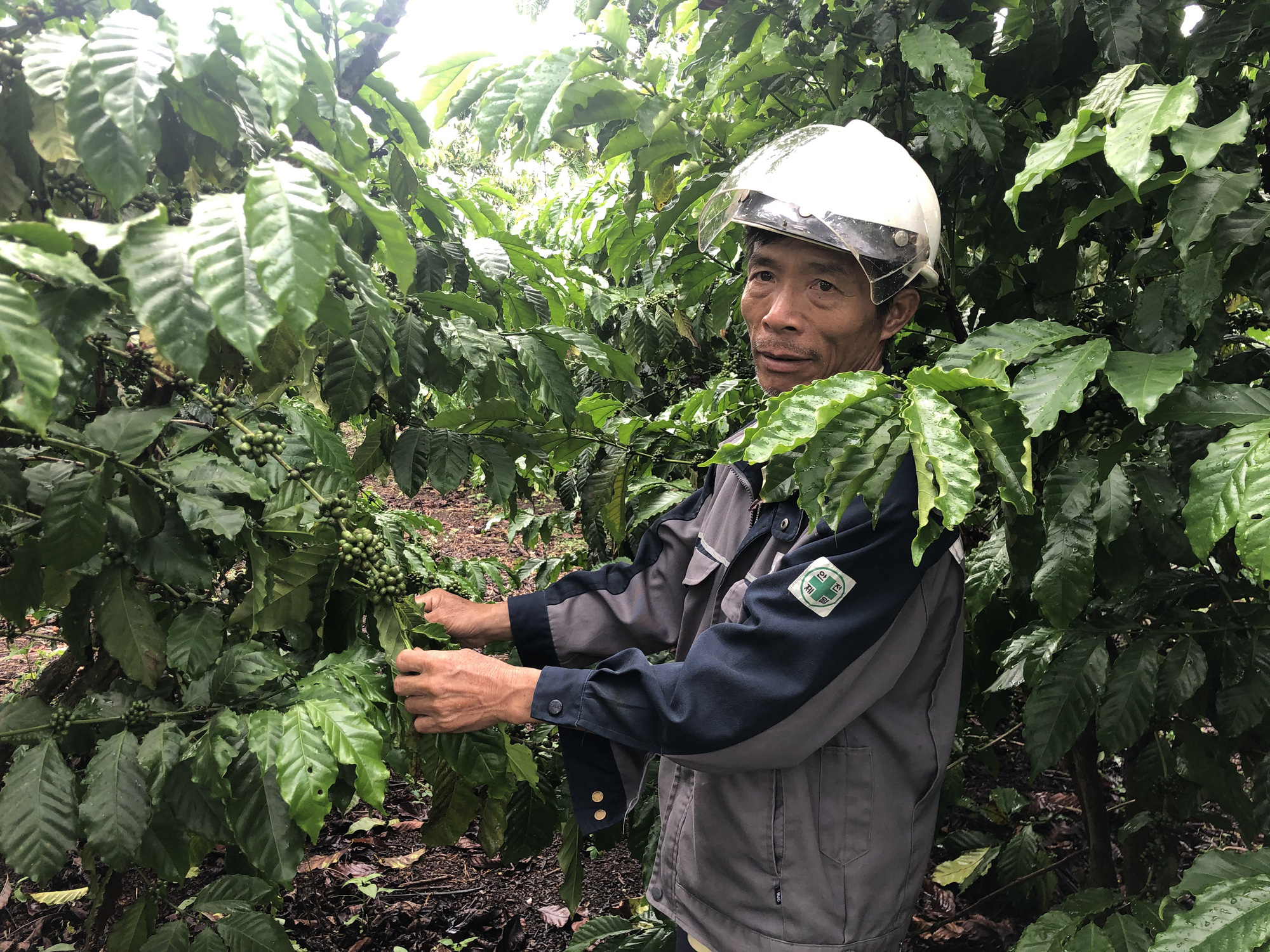 Chăm sóc cà phê mùa mưa: Lời khuyên từ nông dân 25 năm kinh nghiệm - Ảnh 1.