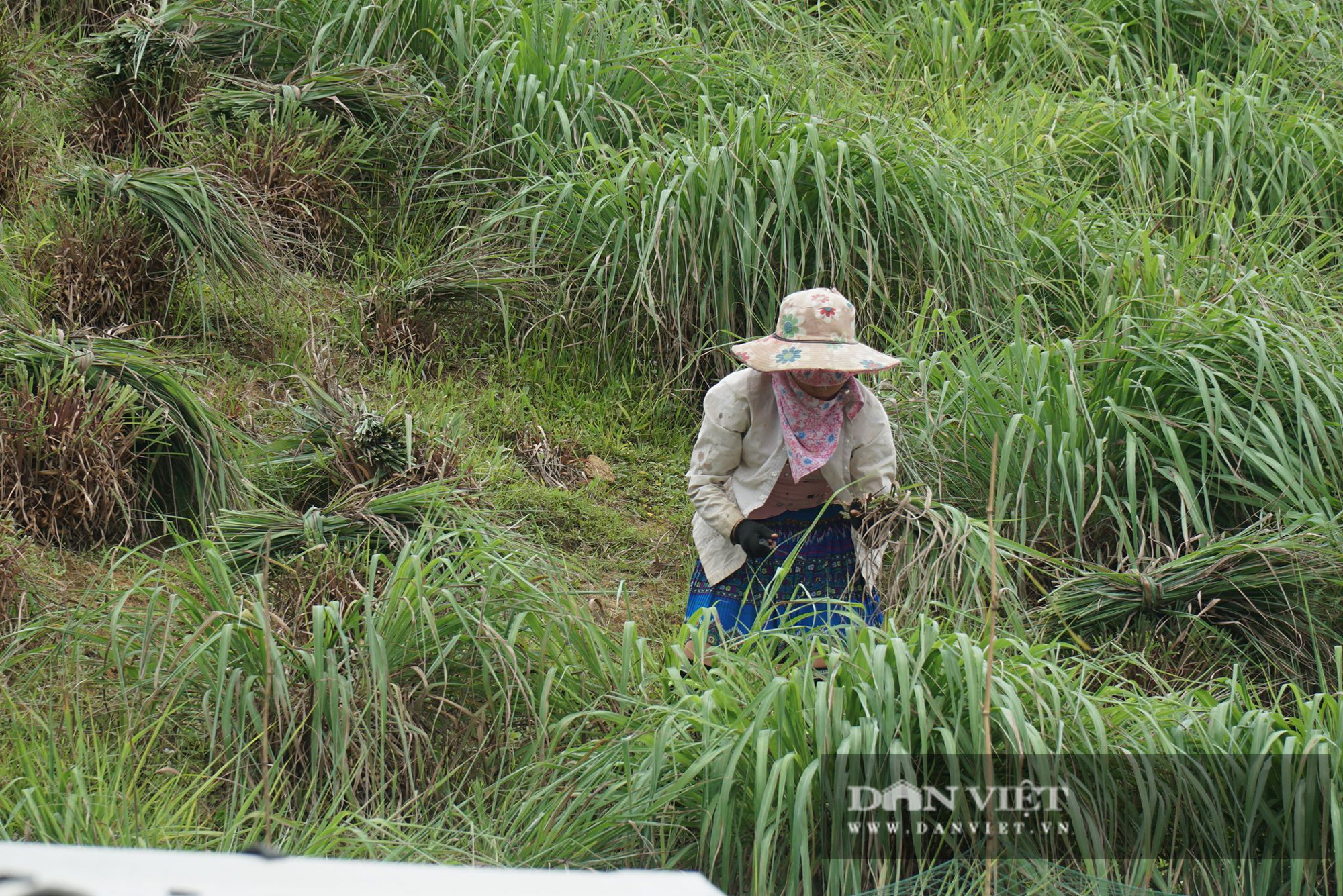 Yên Bái: Người Mông trên núi cao, trồng cây mọc từng khóm, nấu tinh dầu, thu tiền đều tay - Ảnh 5.