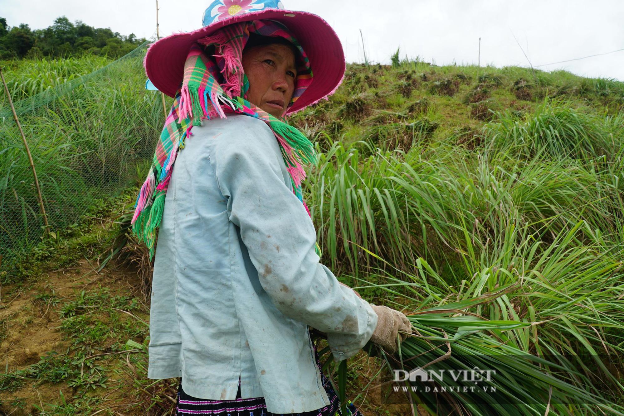 Dân ở đây trồng cây mọc từng khóm để lấy tinh dầu, trồng đến đâu có người lo đến đó - Ảnh 1.