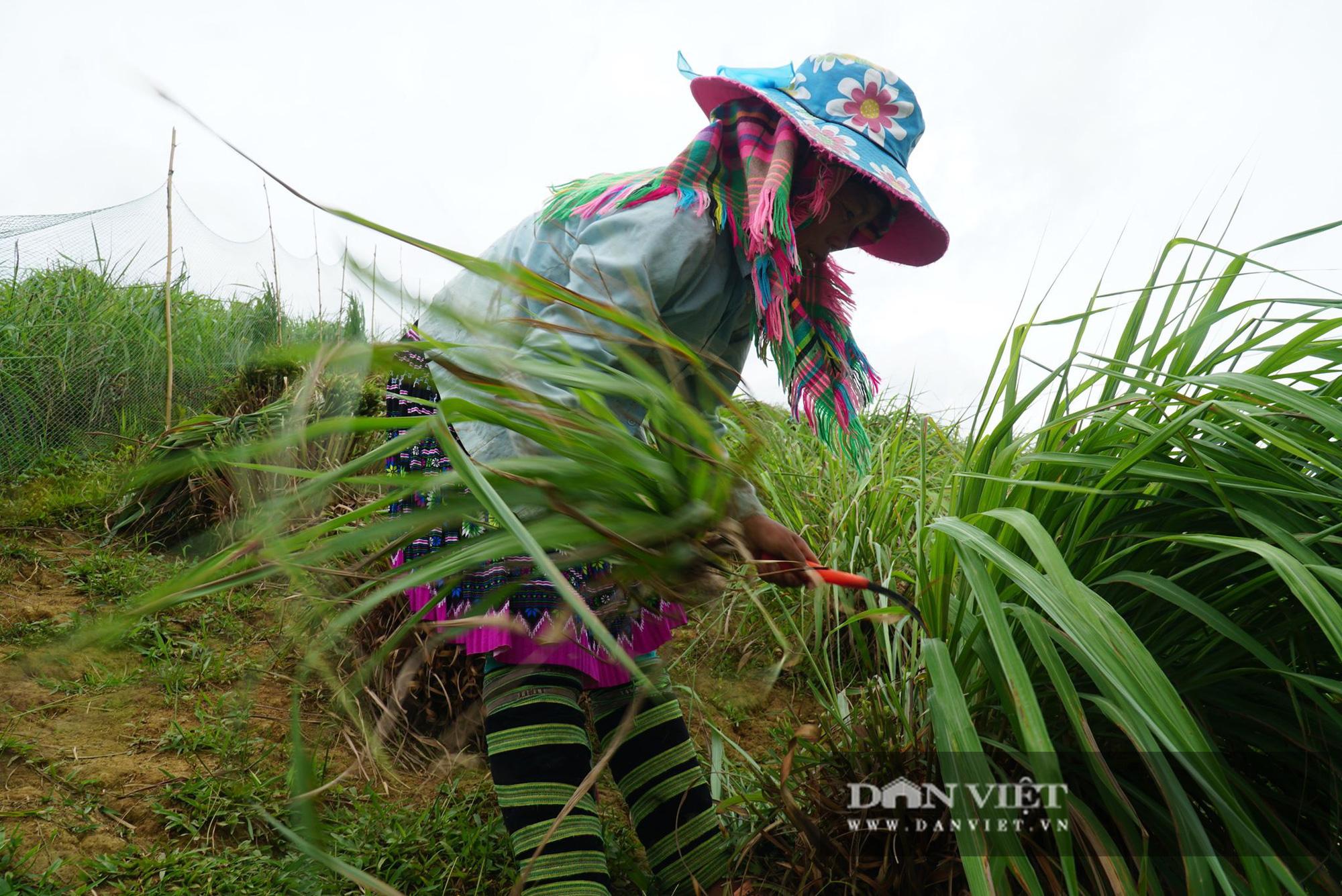 Yên Bái: Người Mông trên núi cao, trồng cây mọc từng khóm, nấu tinh dầu, thu tiền đều tay - Ảnh 6.
