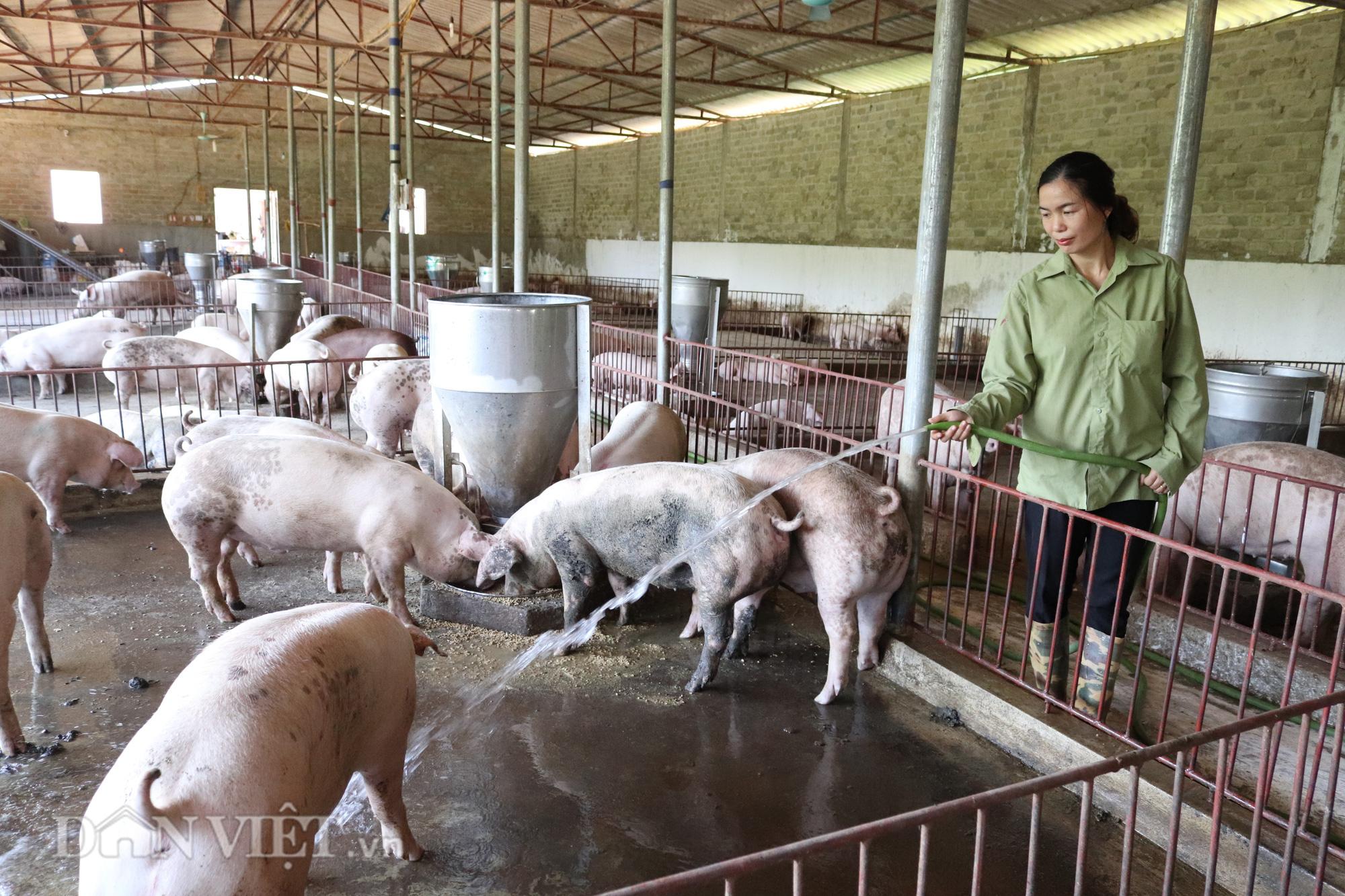"""Bí quyết """"bỏ túi' tiền tỷ từ nuôi lợn thịt của người phụ nữ Thái Sơn La - Ảnh 1."""