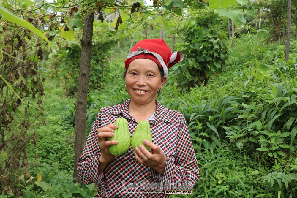 Leo đồi cao thu quả đặc sản Sa Pa màu xanh to bằng nắm đấm vị ngọt thanh, thịt chắc, xào thơm lừng - Ảnh 7.