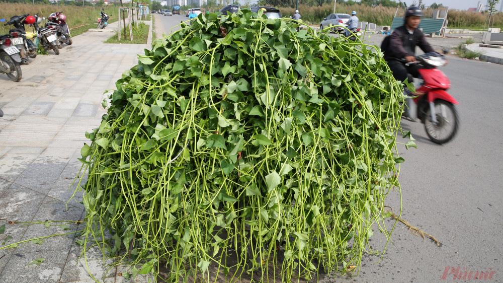 Nhọc nhằn nghề hái rau muống dại ở Sài Gòn - Ảnh 9.