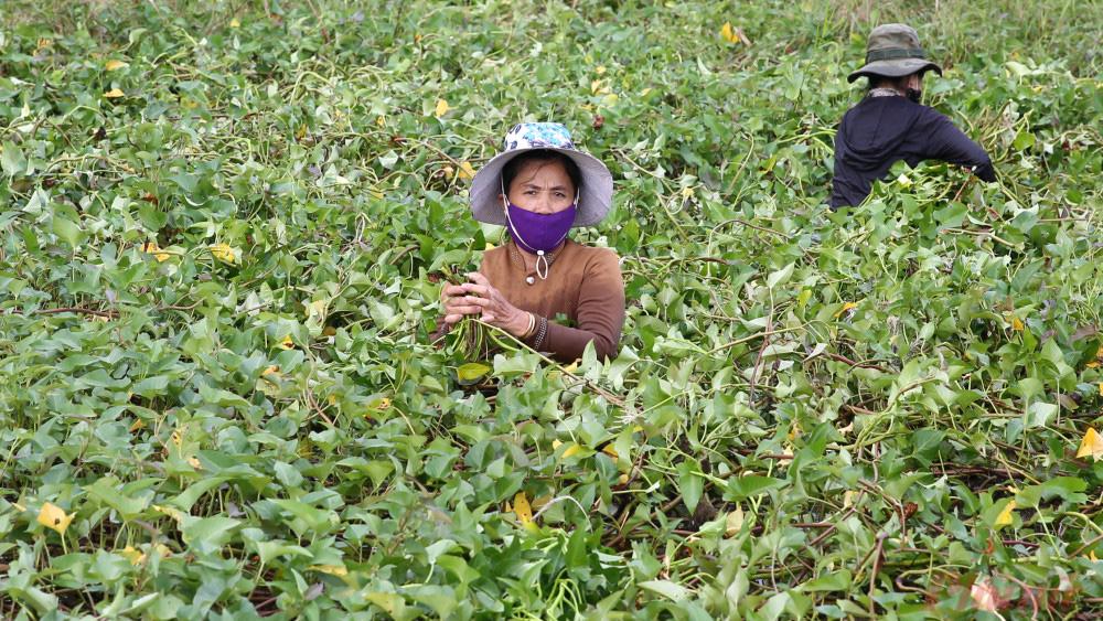Nhọc nhằn nghề hái rau muống dại ở Sài Gòn - Ảnh 5.