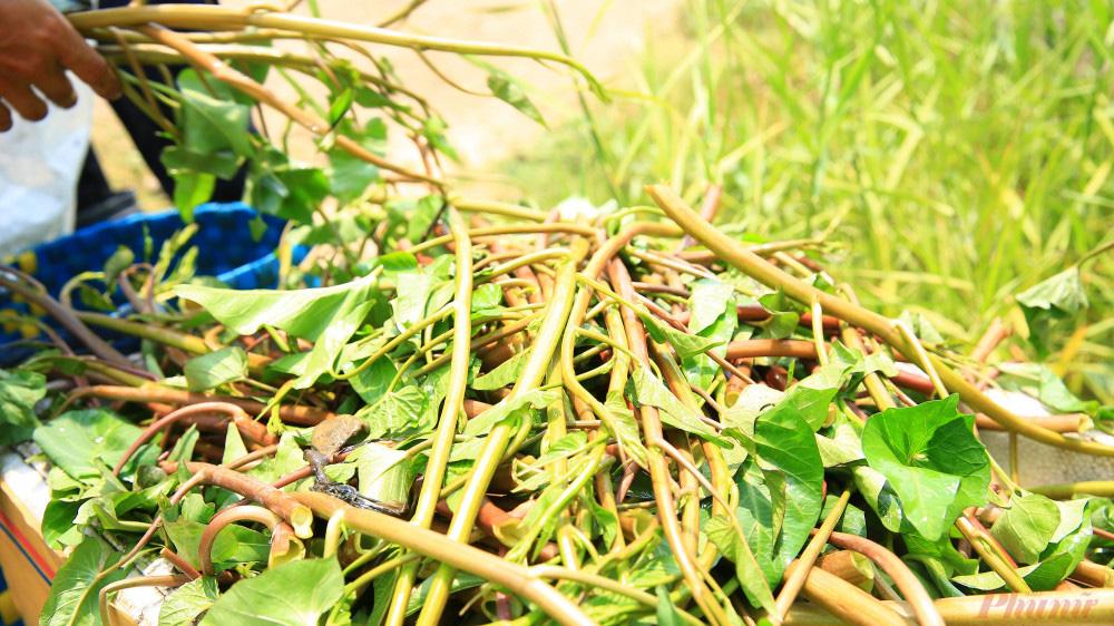 Nhọc nhằn nghề hái rau muống dại ở Sài Gòn - Ảnh 10.
