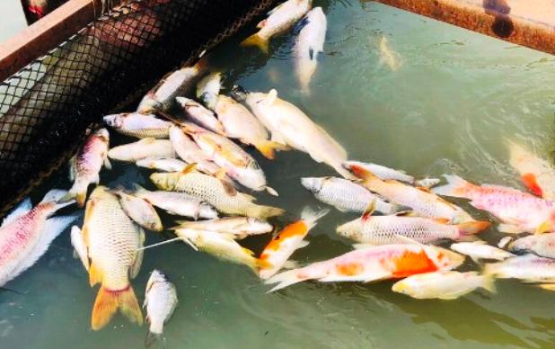Đồng Nai: Truy tìm nguyên nhân cả chục tấn cá bè chết trên sông Cái - Ảnh 2.