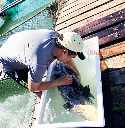 Khánh Hoà: Ngắm những con cá sủ đất rõ to nuôi trong lồng bè trên biển - Ảnh 2.