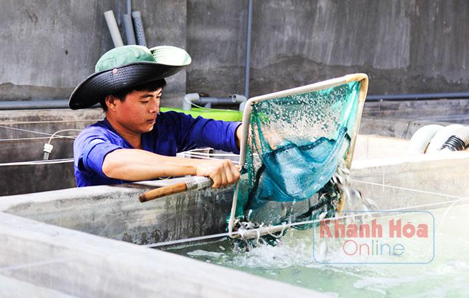 Khánh Hoà: Ngắm những con cá sủ đất rõ to nuôi trong lồng bè trên biển - Ảnh 5.
