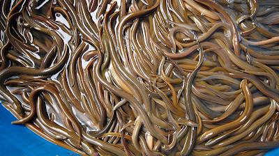 Giá lươn giống ở miền Tây tăng cao chưa từng có, 1 con bé tý bán 5.000 đồng và đây là lý do - Ảnh 1.