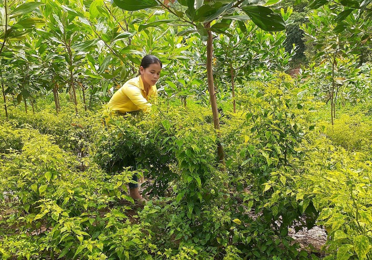 """Ở nơi này, dân trồng cây """"vàng xanh"""" tên nghe lạ, trái bé tí ti mà bán 300 ngàn/kg - Ảnh 2."""