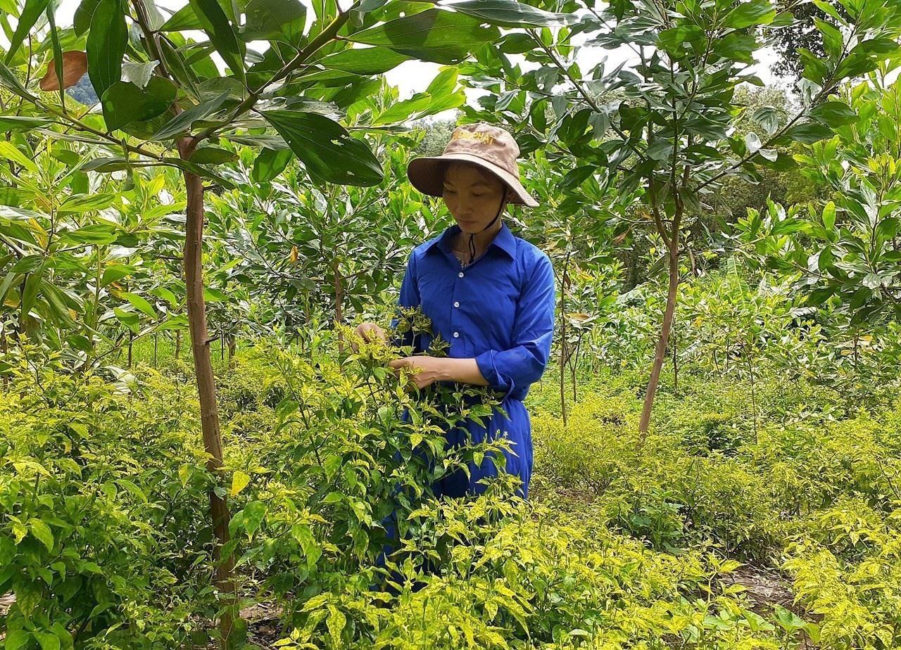 """Ở nơi này, dân trồng cây """"vàng xanh"""" tên nghe lạ, trái bé tí ti mà bán 300 ngàn/kg - Ảnh 1."""