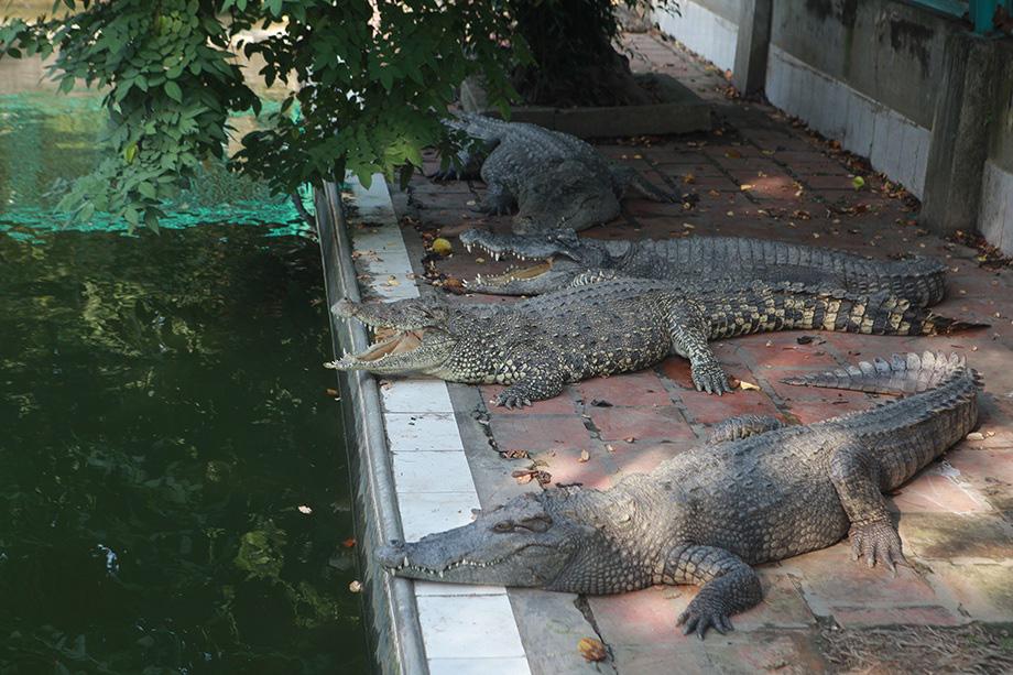 Trại cá sấu lớn nhất miền Bắc lao đao vì Covid-19 - Ảnh 1.