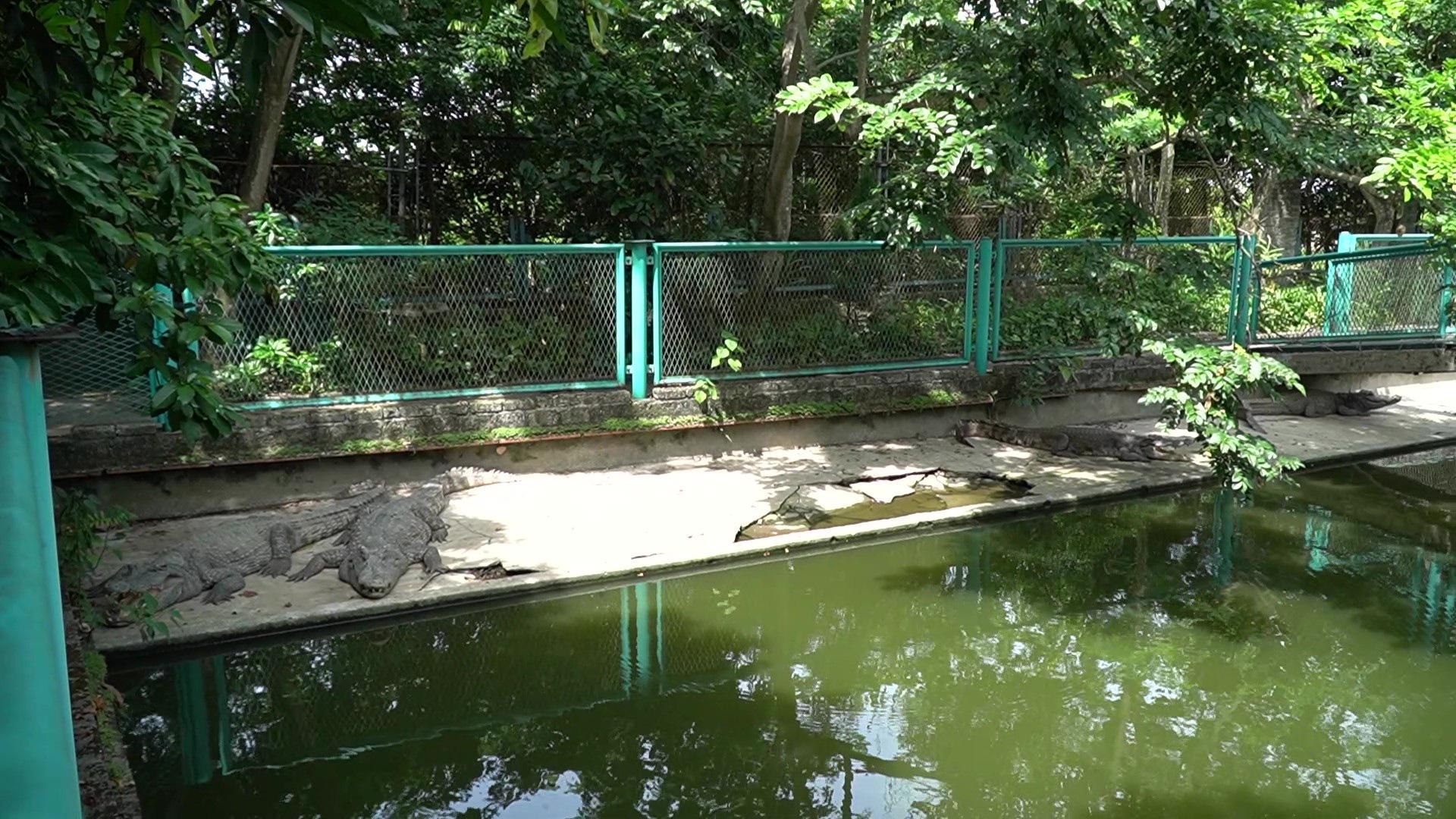 Trại cá sấu lớn nhất miền Bắc lao đao vì Covid-19 - Ảnh 2.
