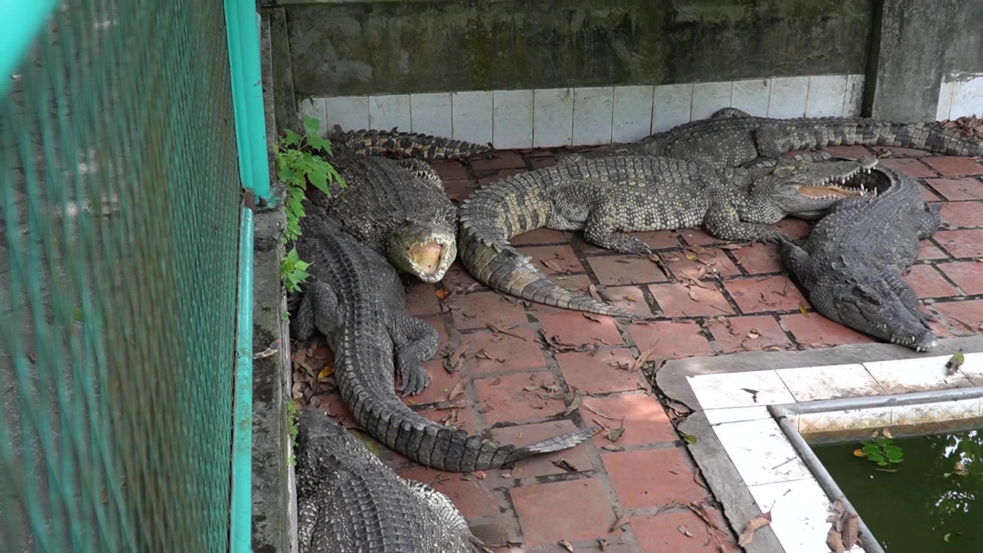 Trại cá sấu lớn nhất miền Bắc lao đao vì Covid-19 - Ảnh 4.