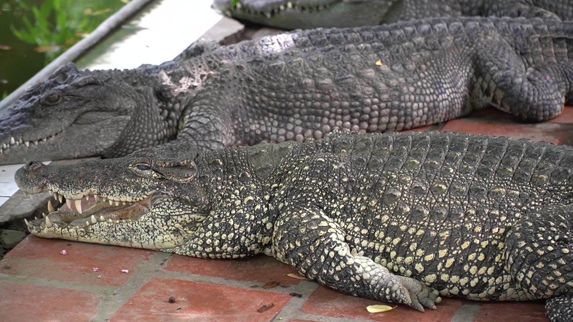 Trại cá sấu lớn nhất miền Bắc lao đao vì Covid-19 - Ảnh 5.