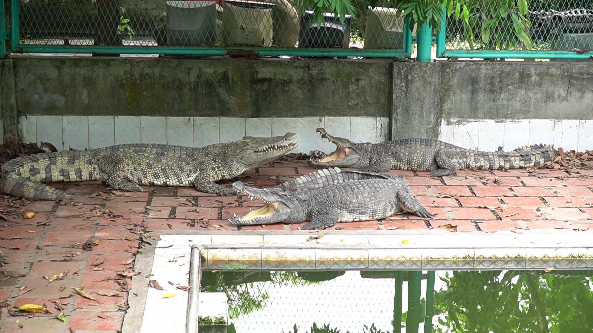 Trại cá sấu lớn nhất miền Bắc lao đao vì Covid-19 - Ảnh 6.