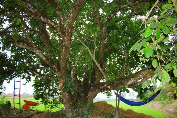 An Giang: Trái rừng đen sì xưa chỉ mọc hoang nay là hàng hiếm, có tiền cũng khó mua - Ảnh 9.